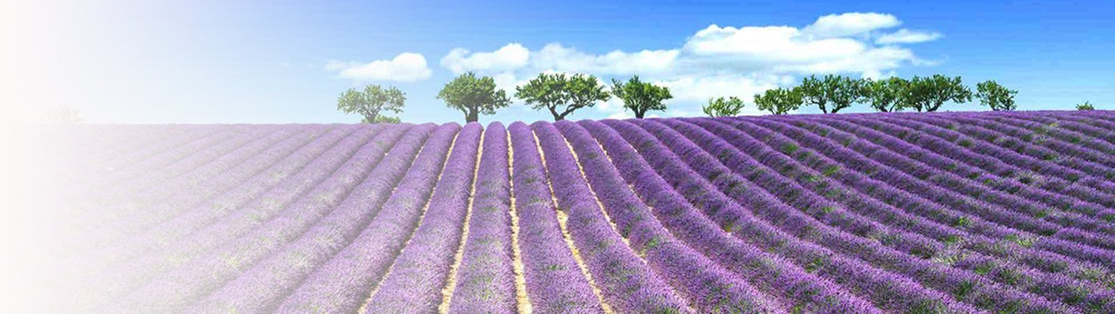 Lavender New Harvest